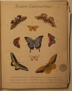 Colour plate of butterfly illustrations.