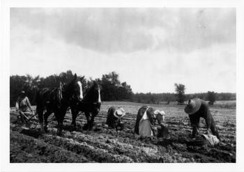 Photograph of farmers harvesting root vegetables by hand, and a horse drawn plow.